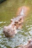 Hippopotamus in the water Royalty Free Stock Photo