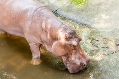 Hippopotamus in the water Stock Image