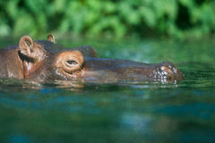Hippopotamus in water Stock Photography