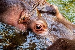 Hippo in the water. Hippopotamus in the water. Close-up to head. Photo taken from above Stock Images