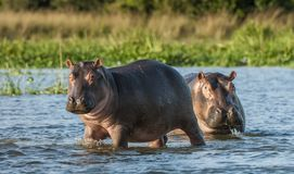 Hippopotamus in the water. The common hippopotamus (Hippopotamus amphibius). Two common hippopotamus in the water. The common hippopotamus (Hippopotamus Royalty Free Stock Image