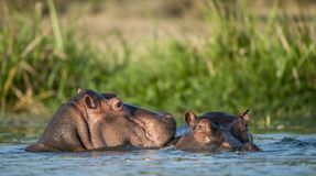 Hippopotamus in the water. The common hippopotamus (Hippopotamus amphibius). Two common hippopotamus in the water. The common hippopotamus (Hippopotamus stock photography