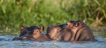 Hippopotamus in the water. The common hippopotamus (Hippopotamus amphibius) Royalty Free Stock Photography