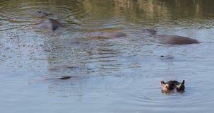 Hippopotamus in water stock video footage