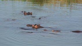 Hippopotamus in water stock footage