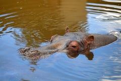 Hippopotamus In the Water. Head of hippopotamus emerging from water during daytime Stock Image