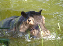 Hippopotamus in water. Hippo sits in the lake on a hot day stock image
