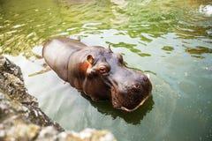 Hippopotamus in water. Hippo at ZOO Stock Photo