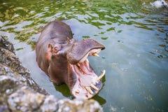 Hippopotamus in water. Hippo at ZOO Stock Photography