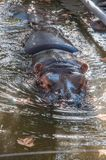 Hippopotamus in the water, hippopotamus in the pool. Of the zoo Royalty Free Stock Image