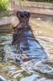 Hippopotamus in the water, hippopotamus in the pool. Of the zoo Royalty Free Stock Photo