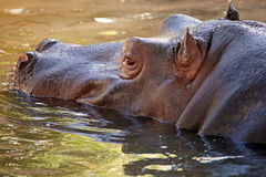 Hippopotamus in water, its natural habitat Stock Photography