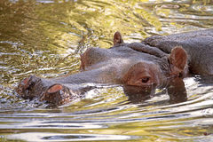 Hippopotamus in water, its natural habitat Royalty Free Stock Image
