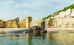 Hippopotamus in the water looking over the surface. Stock Photos