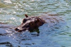 Hippopotamus In water Stock Images