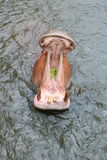 Hippopotamus in the water Royalty Free Stock Photos