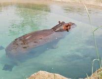 Hippopotamus 1. Hippopotamus in water at a sandy shore Royalty Free Stock Photos