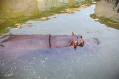 Hippopotamus in water. Submerged hippo at ZOO Stock Photos