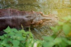Hippopotamus in the water. Top view of hippopotamus sleeping in the water in warm light Stock Photos