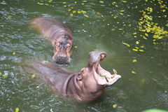 Hippopotamus in the water. Two Hippopotamus in the water Stock Photography