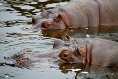 Hippopotamus in water. Wild brown hippopotamus in water royalty free stock image