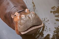 Hippopotamus in the water stock images
