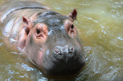 Hippopotamus is in a water at zoo Stock Photography