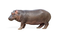 Hippopotamus. On the a white background stock image
