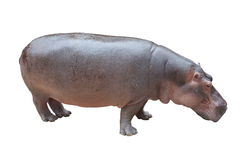 Hippopotamus on white with clipping path Royalty Free Stock Images