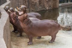 Hippopotamus widely open the mouth begging for food. Hippopotamus widely open the mouth begging for food from the zoo visitors Royalty Free Stock Photos