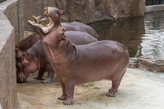 Hippopotamus widely open the mouth begging for food. Hippopotamus widely open the mouth begging for food from the zoo visitors Royalty Free Stock Image