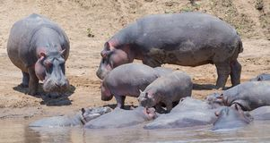 Hippopotamus in the Wild. African Safari in Maasai Mara, Nairobi, Kenya Royalty Free Stock Photography