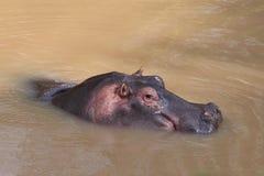 Hippopotamus. Wild hippo in the river Stock Photography