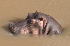 Hippopotamus. Wild hippo in the river Royalty Free Stock Photos
