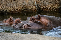 Hippopotamus Wildlife photography Stock Photo