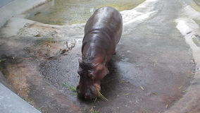 Hippopotamus stock video