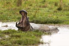 Hippopotamus yawing Stock Photo