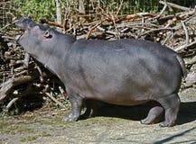 Hippopotamus 17 Royalty Free Stock Photos