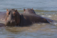 Hippopotamus in the Zambezi river. Looking at camera Stock Photos
