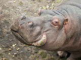 Hippopotamus in zoo Stock Images