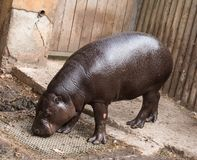 Hippopotamus Stock Photography