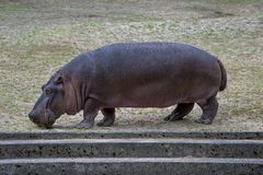 Hippopotamus in Zoo, Gdansk, Poland Royalty Free Stock Images