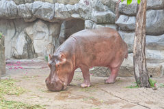 Hippopotamus in a zoo Stock Photos