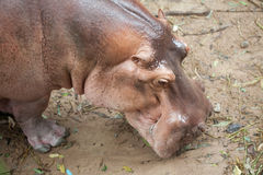 The hippopotamus Royalty Free Stock Photography