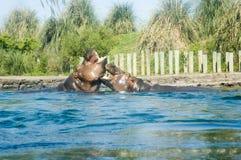Hippopotamus zwei Lizenzfreies Stockfoto