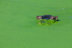 Hippopotamuse apprêtant par des algues Photographie stock