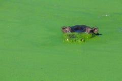 Hippopotamuse som ytbehandlar till och med alger Arkivbild