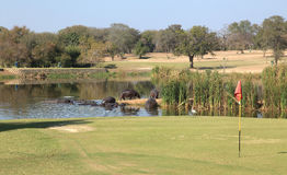 Hippopotamuses στο γήπεδο του γκολφ Skukuza στο εθνικό πάρκο Kruger Στοκ Φωτογραφία