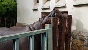 Hippopotamuses στο ζωολογικό κήπο της Βουδαπέστης απόθεμα βίντεο