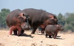 hippopotamuses семьи Стоковая Фотография